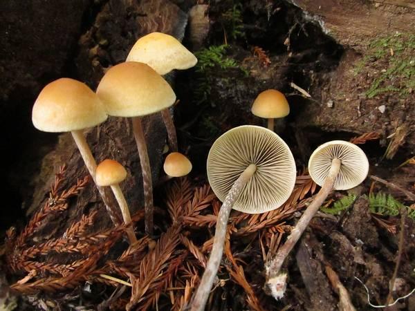 Ложноопята Hypholoma marginatum фото