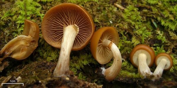 Мякоть галерины окаймленной фото (Galerina marginata)