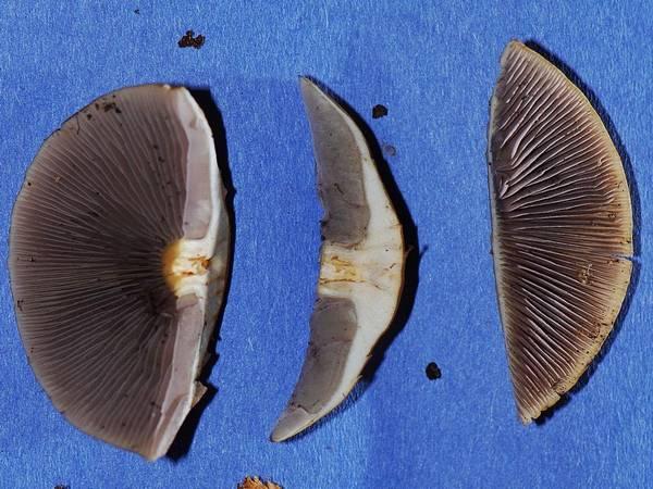 Мякоть ложноопенка серопластинчатого фото (Hypholoma capnoides)