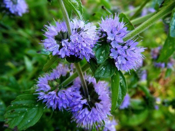 Мята болотная (блошница) фото (Mentha pulegium)