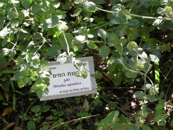 Мята водная в ботаническом саду фото (Mentha aquatica)