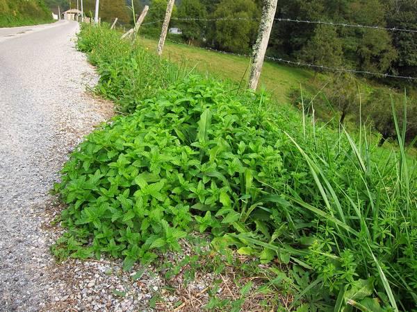 Мята колосистая, Арьеж, Франция фото (Mentha spicata)