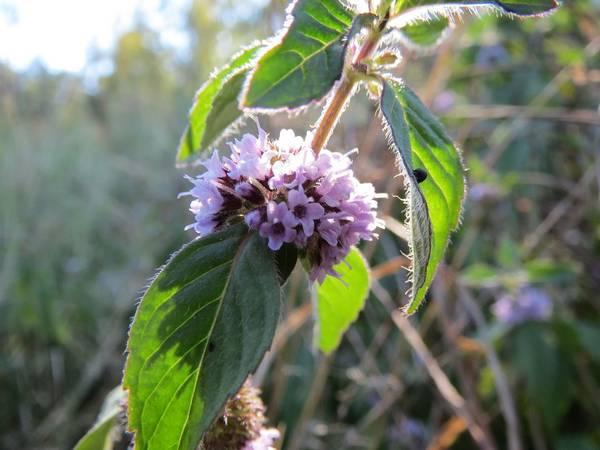 Мята полевая (луговая) фото (Mentha arvensis)