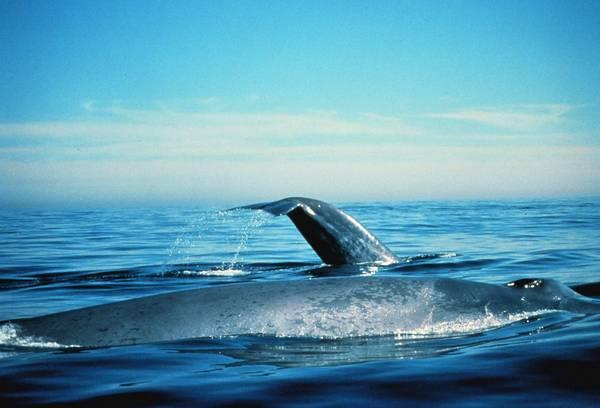 Синие киты фото (Balaenoptera musculus)