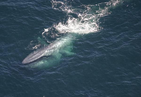Синий кит выныривает из воды фото (Balaenoptera musculus)
