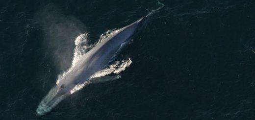 Синий кит фото (Balaenoptera musculus)
