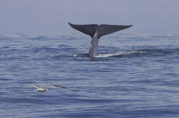 Хвостовой плавник синего кита фото (Balaenoptera musculus)