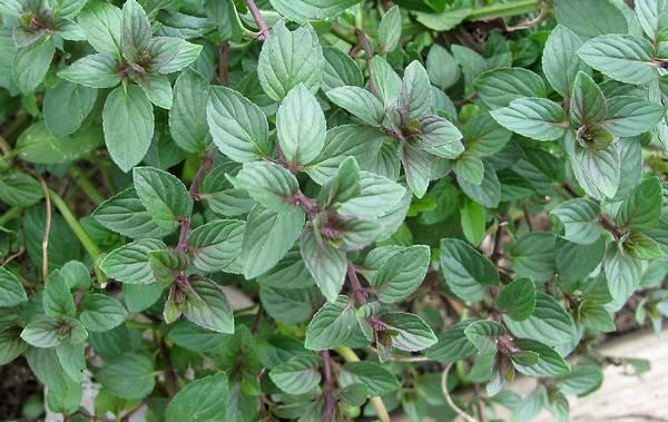Листья мяты перечной фото (Mentha × piperita)