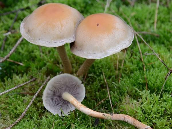 Ложноопенок серопластинчатый, гифолома маковая фото (Hypholoma capnoides)