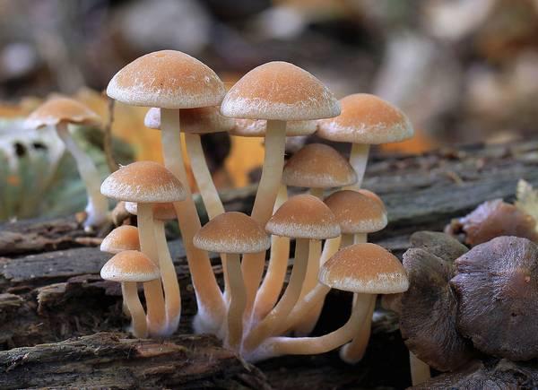 Ложноопята водянистые фото (Psathyrella piluliformis)
