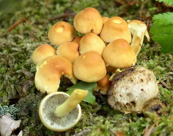 Мякоть ложноопенка серно-желтого фото (Hypholoma fasciculare)