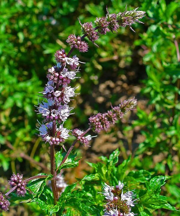 Мята марокканская фото (Mentha spicata var. crispa)