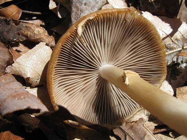 Ножка ложноопенка водянистого, псатиреллы водолюбивой фото (Psathyrella piluliformis)