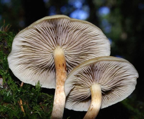 Ножка ложноопенка серопластинчатого фото (Hypholoma capnoides)