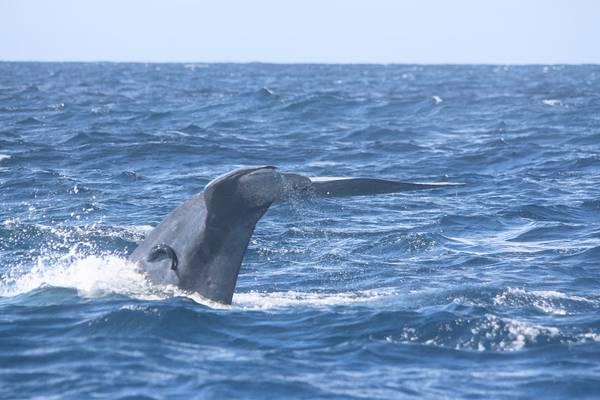 Ныряющий синий кит фото (Balaenoptera musculus)