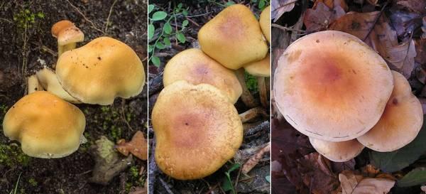 Отличия серно-желтого ложноопенка от серопластинчатого и кирпично-красного фото