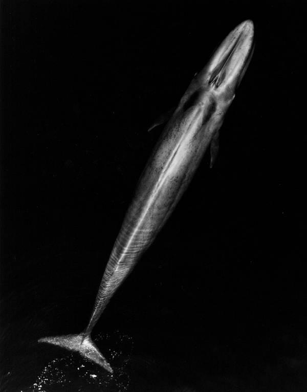 Синий кит вид сверху фото (Balaenoptera musculus)