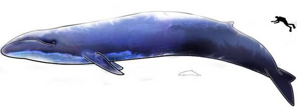 Синий кит в сравнении с человеком фото (Balaenoptera musculus)