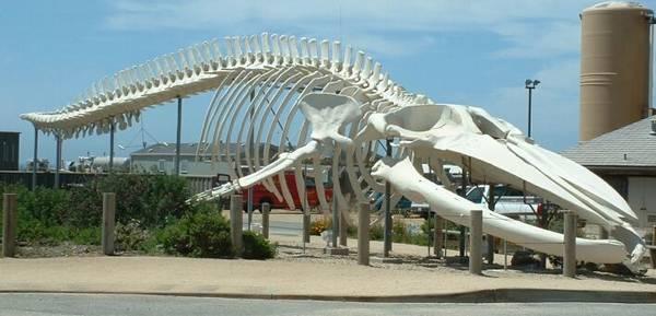 Скелет синего кита фото (Balaenoptera musculus)