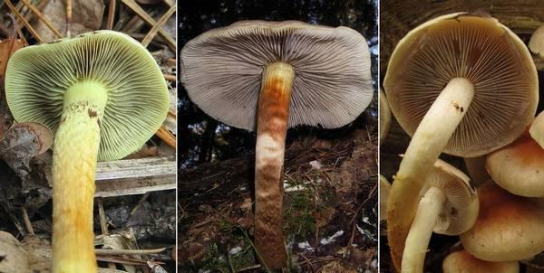 Чем серно-желтый ложноопенок отличается от серопластинчатого и кирпично-красного фото