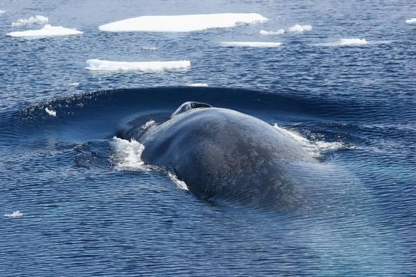 Южный синий кит фото (Balaenoptera musculus intermedia)