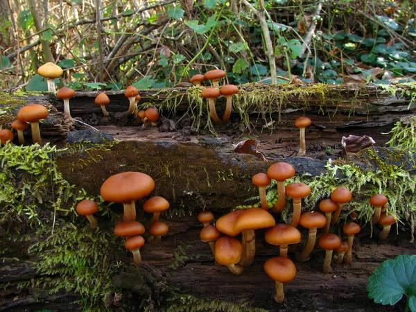 Ядовитый гриб галерина окаймленная в лесу фото (Galerina marginata)