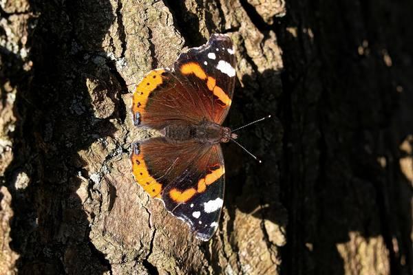 Бабочка адмирал на дереве фото (Vanessa atalanta)