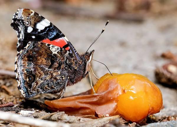 Бабочка адмирал на фруктах фото (Vanessa atalanta)