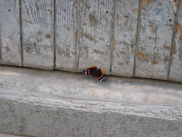 Бабочка адмирал под крышей дома фото (Vanessa atalanta)