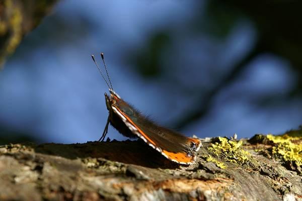Бабочка красный адмирал на дереве фото (Vanessa atalanta)