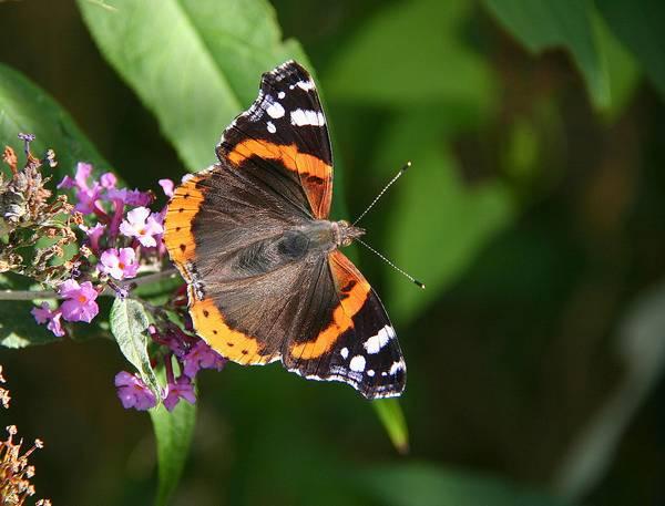 Как выглядит бабочка адмирал фото (Vanessa atalanta)