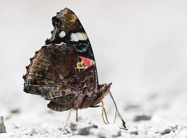 Конечности бабочки адмирал фото (Vanessa atalanta)