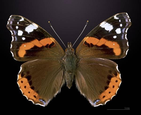 Крылья бабочки адмирал - вид сверху фото (Vanessa atalanta)