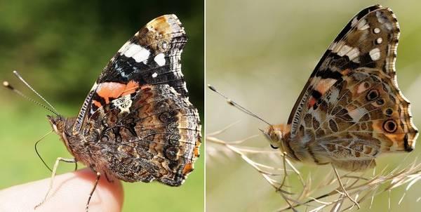 Отличия бабочки адмирал от репейницы фото