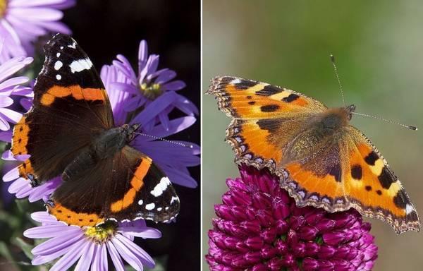 Чем отличается бабочка адмирал от крапивницы фото