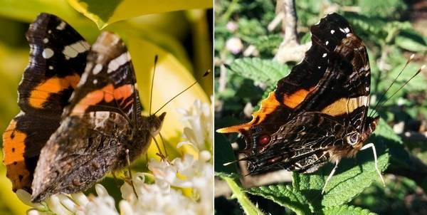 Чем отличается бабочка адмирал (Vanessa atalanta) от Antanartia borbonica фото
