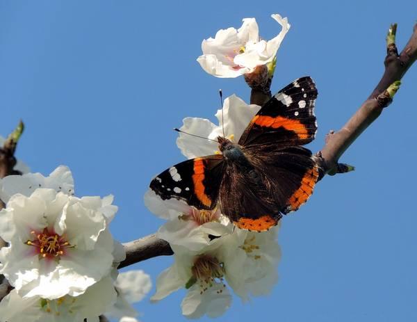 Бабочка-адмирал весной фото (Vanessa atalanta)