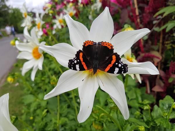 Бабочка адмирал в Северной Европе фото (Vanessa atalanta)