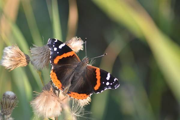 Бабочка красный адмирал фото (Vanessa atalanta)