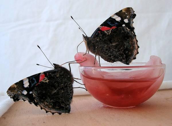 Бабочки адмирал фото (Vanessa atalanta)