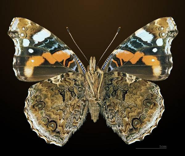 Крылья бабочки адмирал - вид снизу фото (Vanessa atalanta)