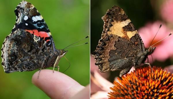 Отличия бабочки адмирал от крапивницы фото