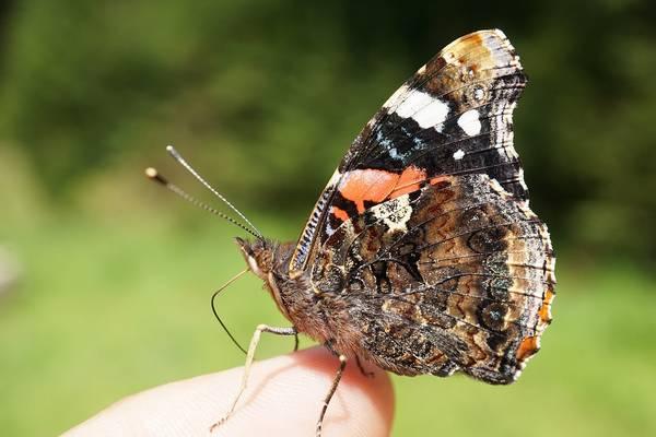 Усики и хоботок бабочки адмирал фото (Vanessa atalanta)