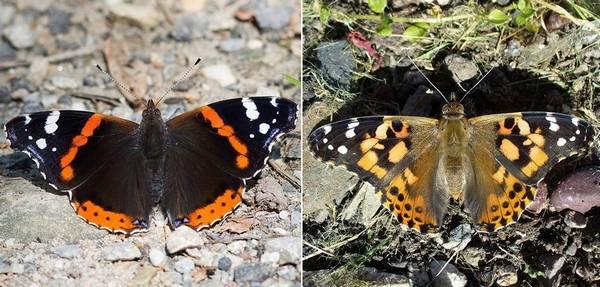 Чем отличается бабочка адмирал от репейницы фото