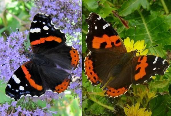 Чем отличается бабочка адмирал (Vanessa atalanta) от Vanessa vulcania фото