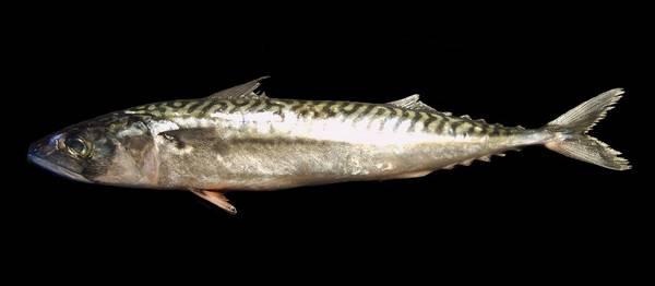 Атлантическая скумбрия фото (Scomber scombrus)