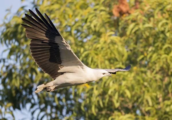 Белобрюхий орлан летит фото (Haliaeetus leucogaster)