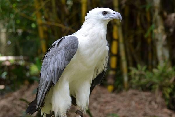 Белобрюхий орлан фото (Haliaeetus leucogaster)