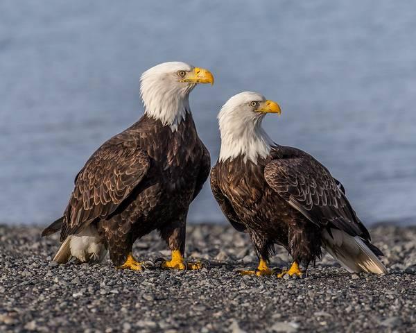 Белоголовые орланы (слева самка, справа самец) фото (Haliaéetus leucocéphalus)