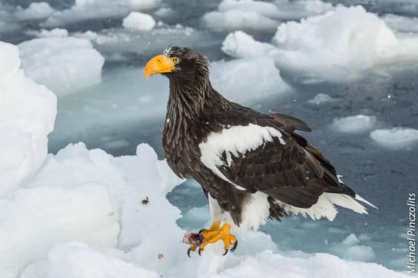 Белоплечий орлан фото (Haliaeetus pelagicus)